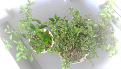 植え替えした観葉植物たち