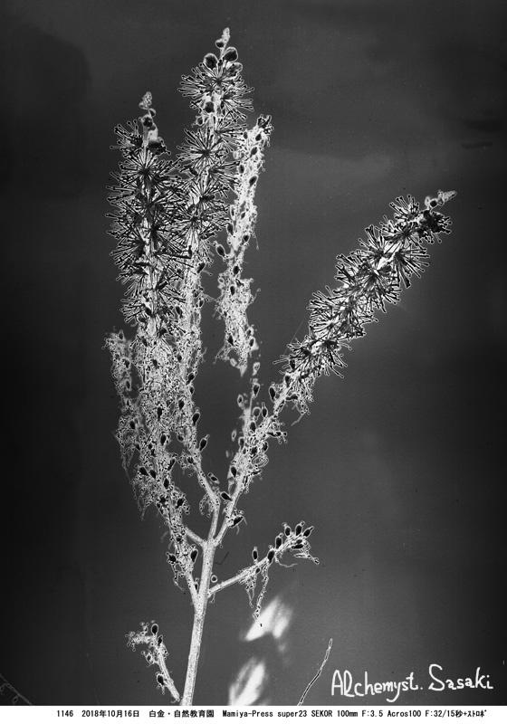 怪しい花1146-15