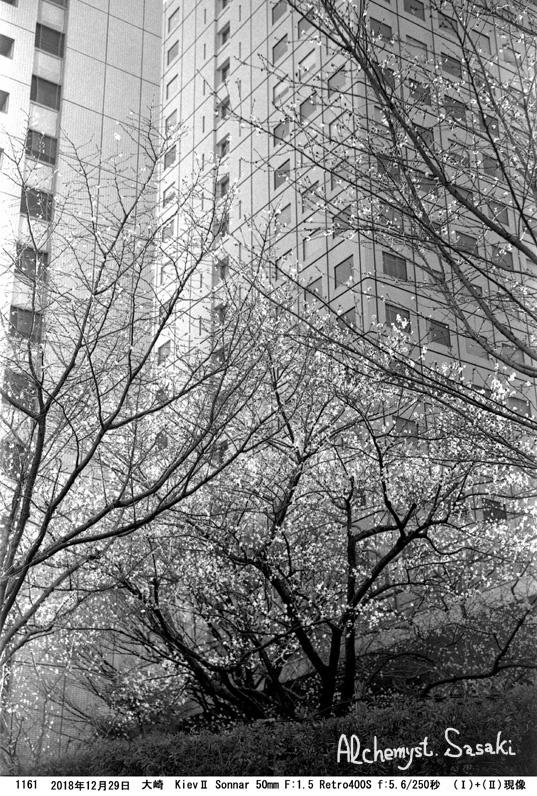 寒桜1161-23