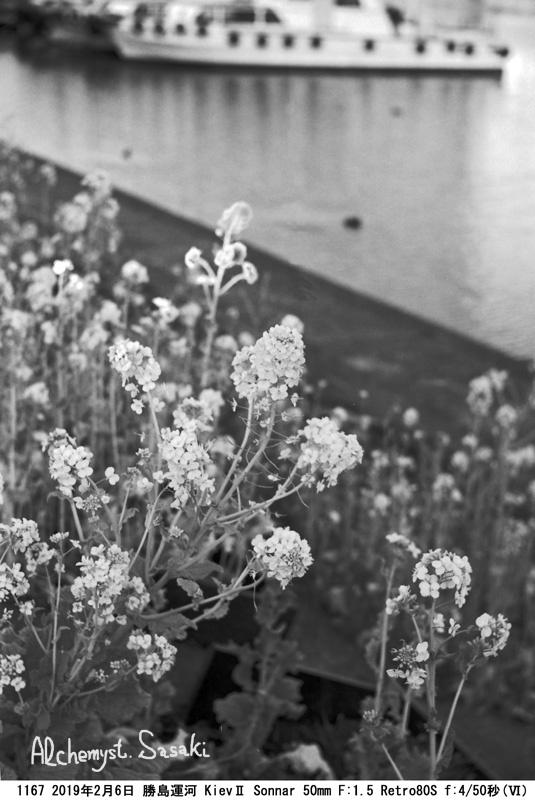 菜の花1167-34