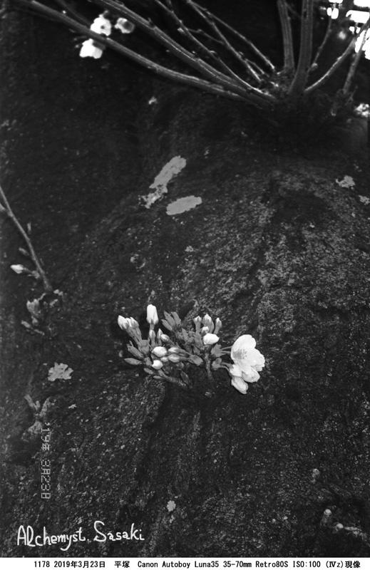 桜1178-16