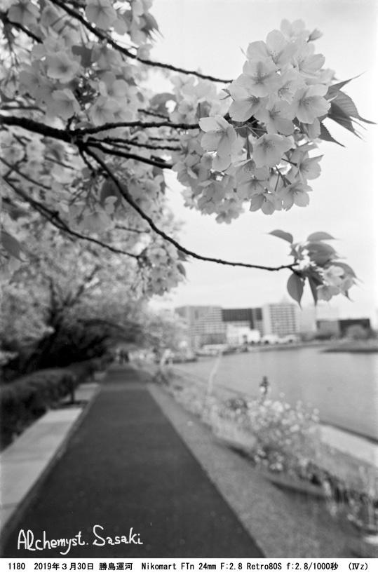 勝島運河の桜1180-32
