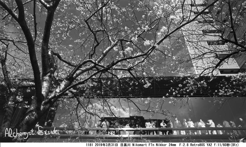 目黒川の桜1181-9