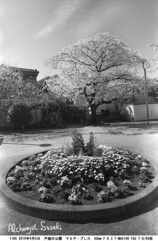 戸越の桜1186-5