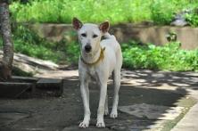 20180522_バリ島の犬