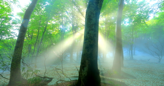 新緑の橅林に光芒