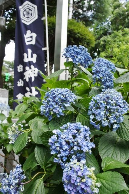 白山神社紫陽花祭 ③