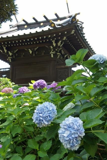 白山神社紫陽花祭 ④
