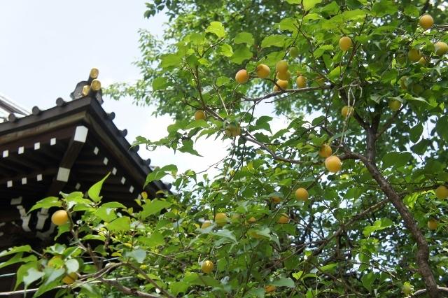 白山神社紫陽花祭 ⑥
