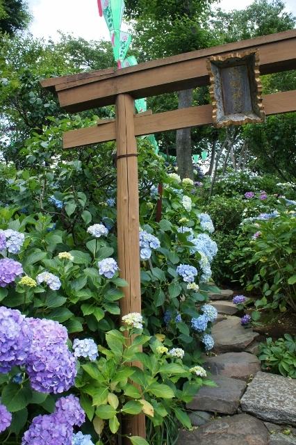 白山神社紫陽花祭 ⑦