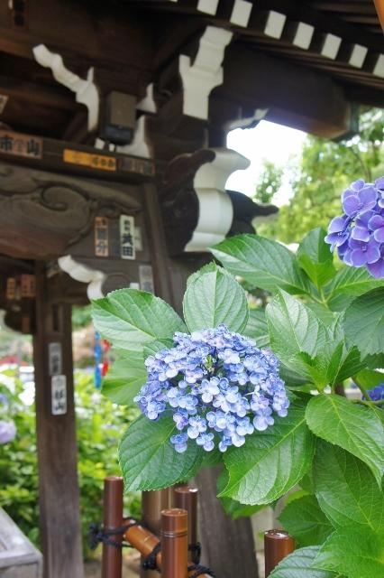 白山神社紫陽花祭 ⑧