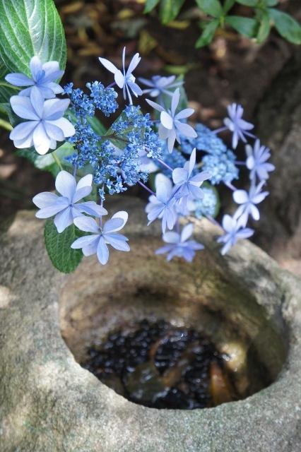 白山神社紫陽花祭 ⑩