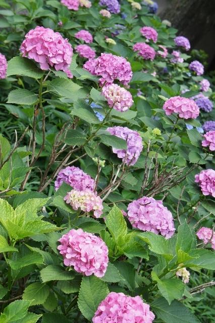 白山神社紫陽花祭 ⑪