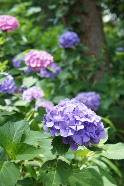白山神社紫陽花祭 ⑫