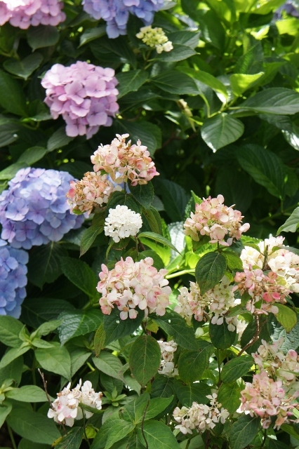 白山神社紫陽花祭 ⑬