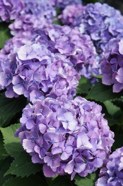 白山神社紫陽花祭 ⑰