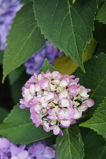 白山神社紫陽花祭 ⑱