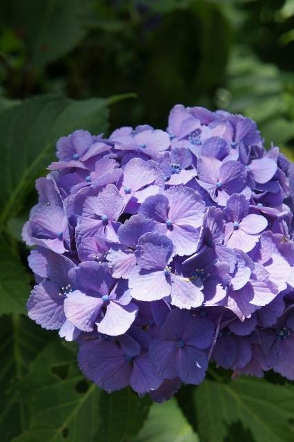 白山神社紫陽花祭 ⑳1
