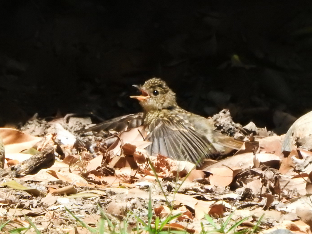幼鳥DSCN0653