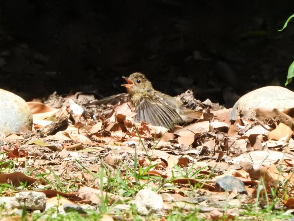 幼鳥DSCN0655