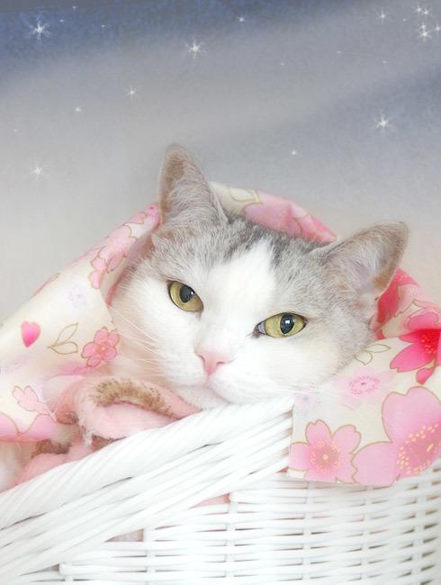 薄紅羽織が似合う猫