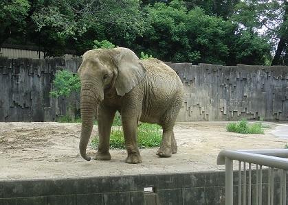 アフリカゾウ♪201806081