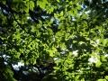 イヌブナの葉陰