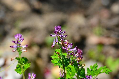s-紫の花20180408