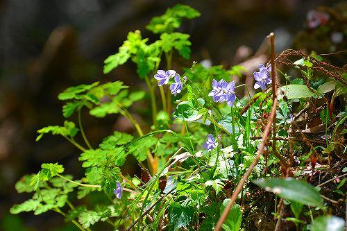 s-紫の花②20180408