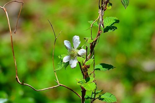 s-白い花20180408