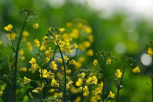 s-菜の花20180422
