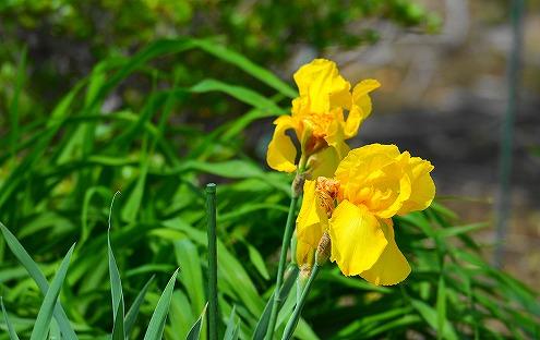 s-黄色の花20180430