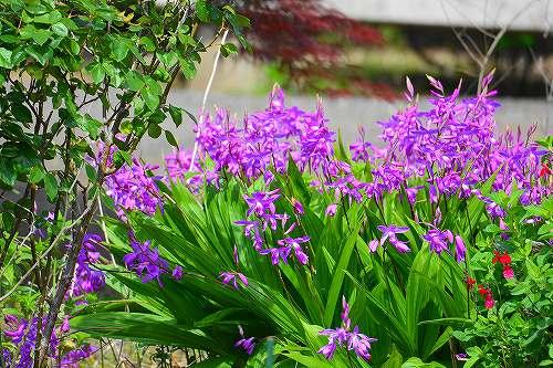 s-紫の花20180430