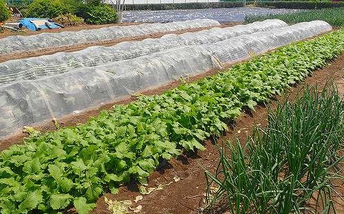 s-ちょっと大きい家庭菜園20180506