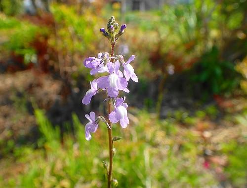 s-紫の小さな花20180506
