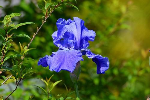 s-青い花20180506