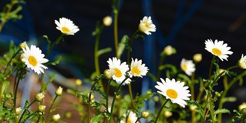 s-白い花20180506