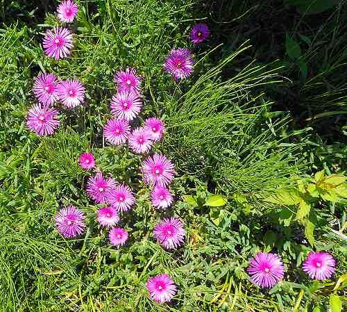 s-ピンクの花20180520