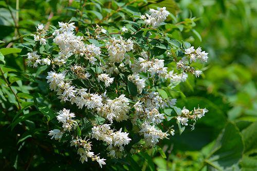s-白い花20180527