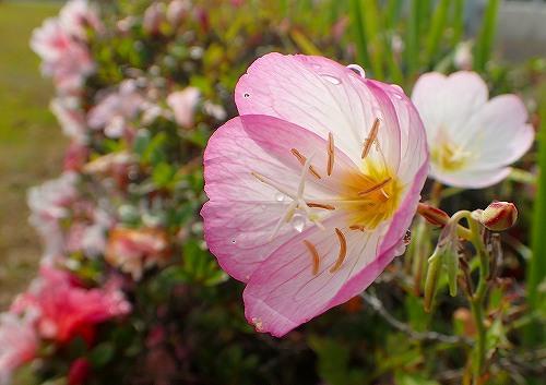 s-ピンクの花20180531