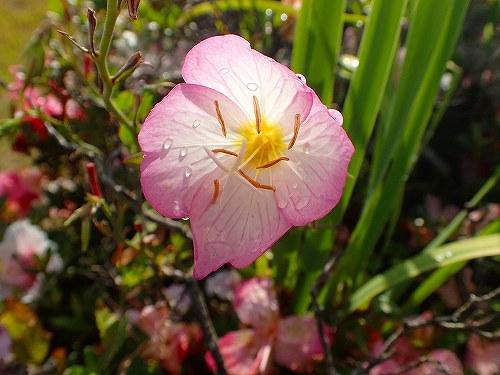 s-ピンクの花②20180531