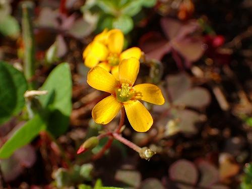 s-黄色の花②20180531