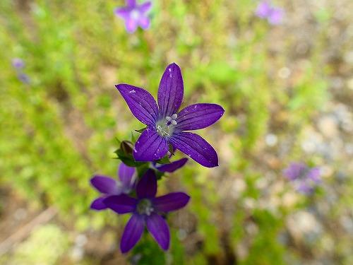 s-紫の花20180601