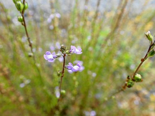 s-紫の花②20180531