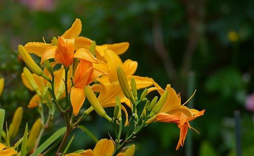 s-黄色の花20180617
