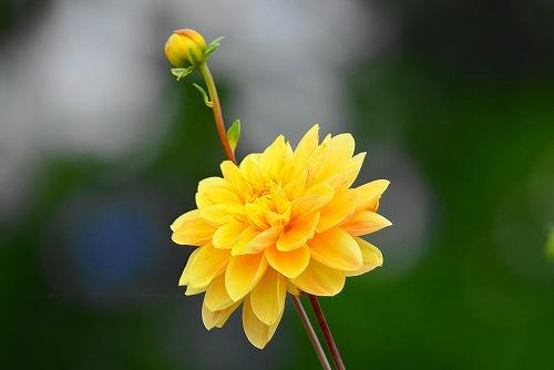 s-黄色の薔薇20180617