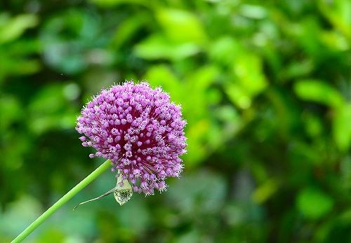 s-紫の花20180617