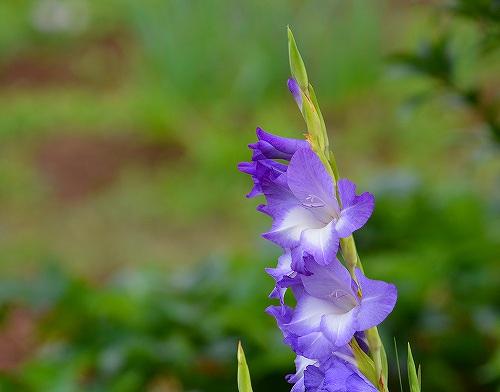 s-青い花②20180617