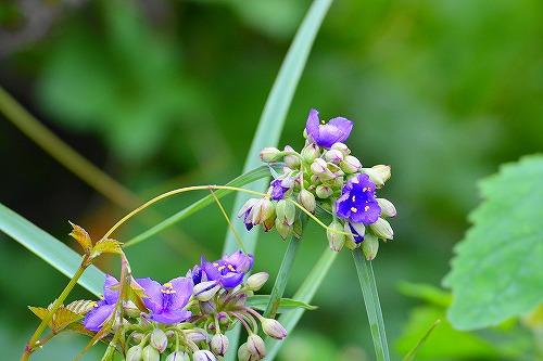 s-青い花④20180617