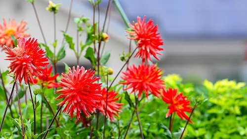 s-赤い花③20180617